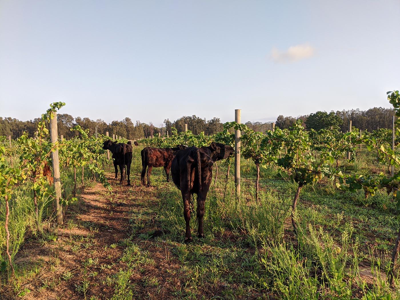 cows in vineyards