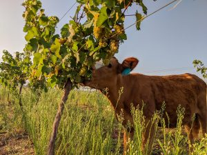 cows eat grapes in the vineyard